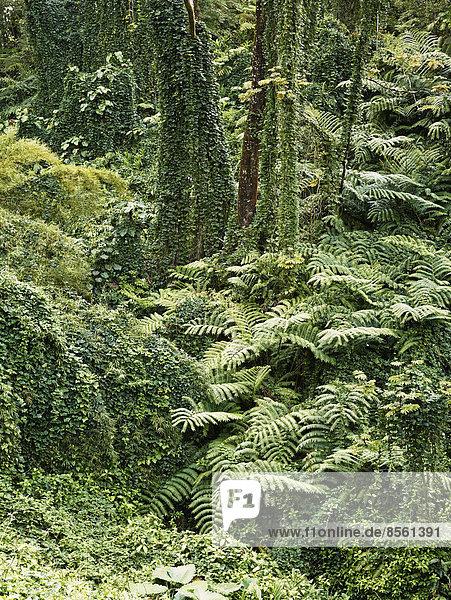 Vegetation im Akaka Falls State Park  Big Island  Hawaii  USA Vegetation im Akaka Falls State Park, Big Island, Hawaii, USA