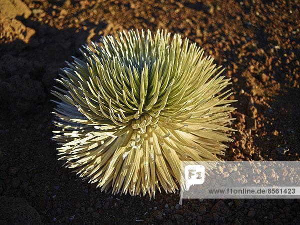 Silberschwert (Argyroxiphium sandwicense macrocephalum)  wächst auf Vulkan  Haleakala  Maui  Hawaii  USA
