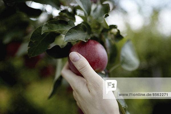 Eine Hand greift in die Äste eines Obstbaums und pflückt einen roten reifen Apfel.
