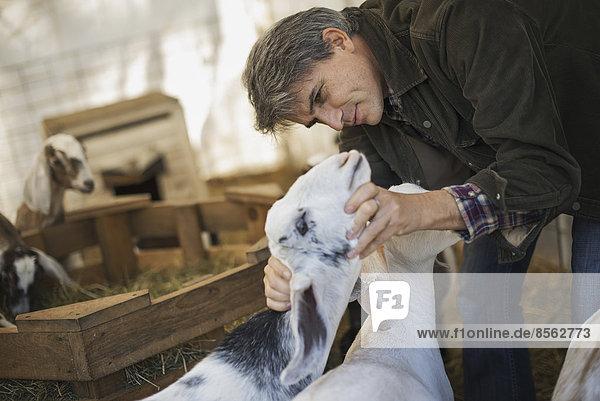 Mann  Milchprodukt  Bauernhof  Hof  Höfe  Scheune  Ziege  Capra aegagrus hircus  Pflanze  Vogelschwarm  Vogelschar