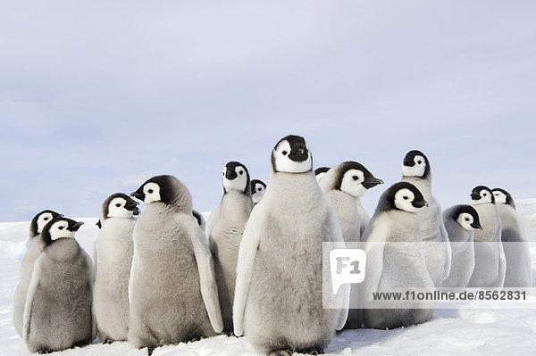 Eine Kindergartengruppe von Kaiserpinguinküken  zusammengekauert  die sich umschauen. Eine Brutkolonie. Eine Kindergartengruppe von Kaiserpinguinküken, zusammengekauert, die sich umschauen. Eine Brutkolonie.