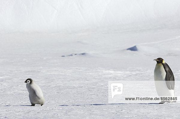 Ein erwachsener Kaiserpinguin wacht über ein Kükenbaby auf dem Eis auf Snow Hill Island. Ein erwachsener Kaiserpinguin wacht über ein Kükenbaby auf dem Eis auf Snow Hill Island.