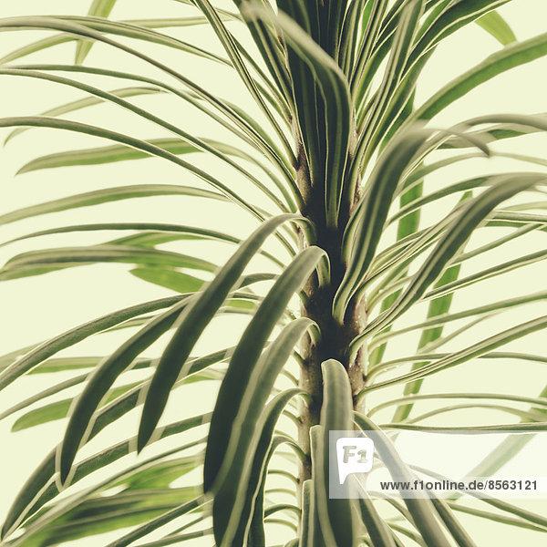Nahaufnahme einer Euphorbia-Pflanze auf weißem Hintergrund. Fleischige  grüne Blätter.