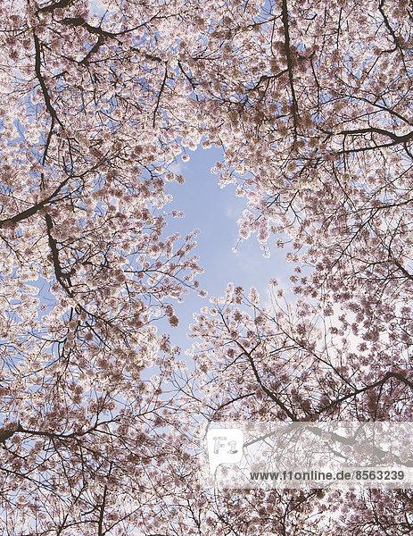 Schaumig-rosafarbene Kirschblüte an Kirschbäumen im Frühling im Bundesstaat Washington  vom Boden aus gegen einen blauen Himmel betrachtet.