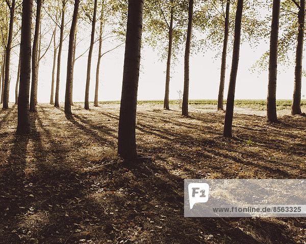In geordneten Reihen gepflanzte Baumwollbäume  die lange Schatten auf den Boden werfen. Kommerzielle Baumzucht  eine Baumschule oder ein Bauernhof.