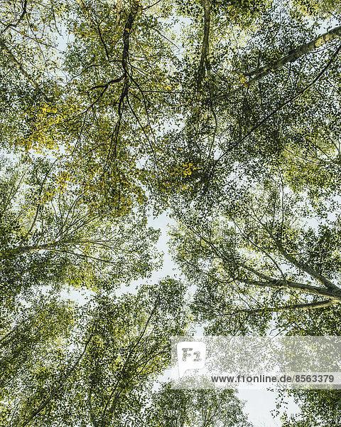 Blick von unten nach oben in das üppige  grüne Blätterdach des Waldes und die sich ausbreitenden Äste von Großblatt-Ahorn und Erle in Seattle.