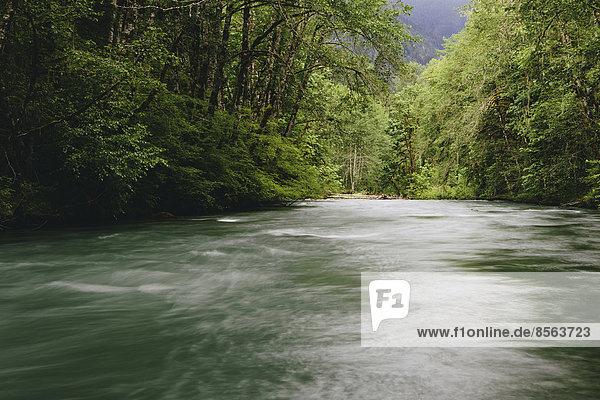 Dosewallips Fluss und üppiger  grüner Regenwald der gemäßigten Zonen  Olympic NP