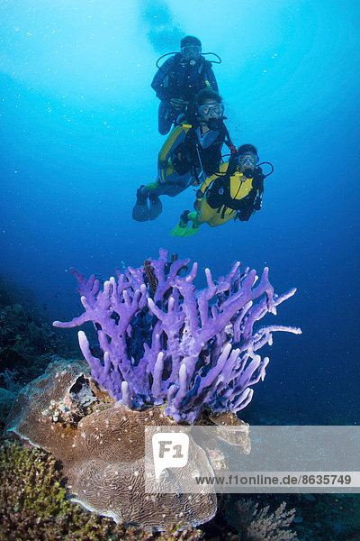 Three scuba divers with a Sponge (Demospongiae) in the reef  Philippines