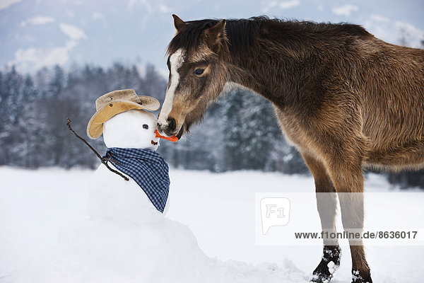Welsh Mountain Pony eating carrot nose of a snowman in western styling  North Tyrol  Austria