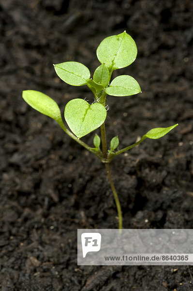 88888-12240-686,Blatt,Blume,Botanik,Cerastium tomentosum