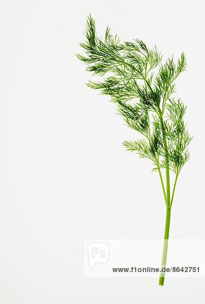 Bio-Dill (Kraut) auf weißem Hintergrund
