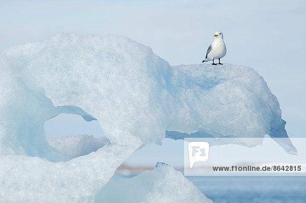 Schwarzbeinige Dreizehenmöwe  Rissa tridactyla  auf einer Eisscholle sitzend