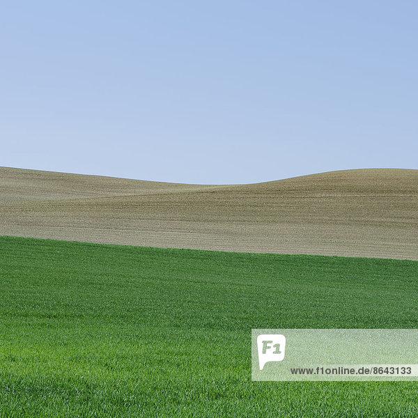 Üppige  grüne sanfte Hügel des Ackerlandes in der Nähe von Pullman  Washington USA. Ein Feld mit grün reifenden Weizenpflanzen.