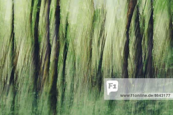Üppiger Wald mit Moos bedeckt Großblättrige Ahornbäume (Acer macrophyllum)  verschwommene Bewegung  Dosewallips River  Olympic NP
