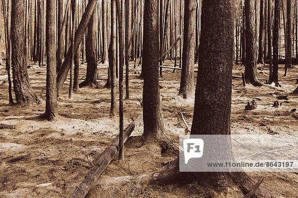 Feuer beschädigte Bäume und Wald (vom Tafelbergfeuer 2012)  Okanogan-Wenatchee NF  in der Nähe des Blewett Pass