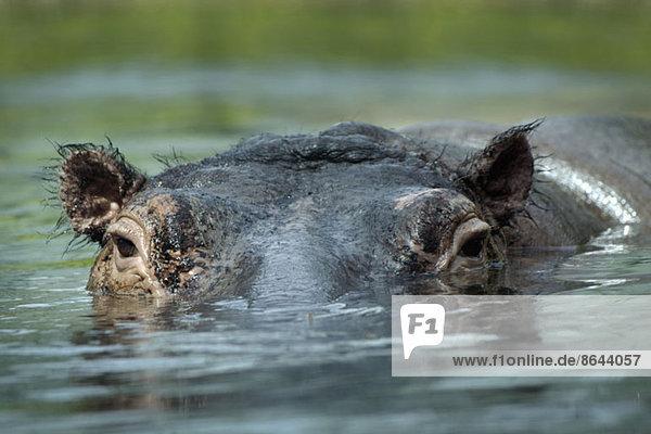Flusspferd im Wasser schwimmend  Nahaufnahme