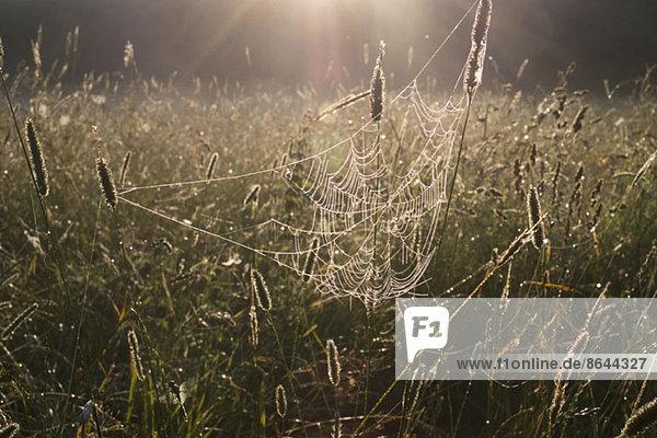 Spinnennetz im Feld