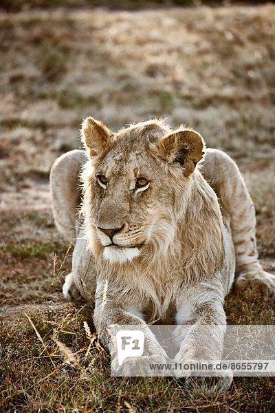Alert Löwin  Masai Mara  Narok  Kenia  Afrika