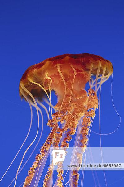 Schwarzmeer-Nesselquallen  Chrysaora fuscescens Scyphozoa  Unterwasser im Monterey Bay Aquarium.