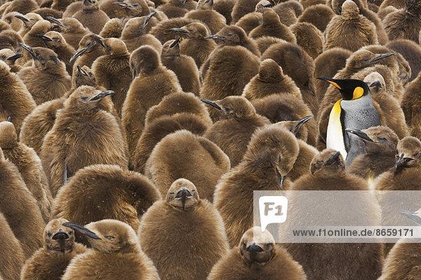 Eine Kolonie von Königspinguinen  Aptenodytes patagonicus. Junge Küken mit braunem  flauschigem Fell  die in großen Gruppen stehen  darunter auch einige Erwachsene. Eine Kolonie von Königspinguinen, Aptenodytes patagonicus. Junge Küken mit braunem, flauschigem Fell, die in großen Gruppen stehen, darunter auch einige Erwachsene.