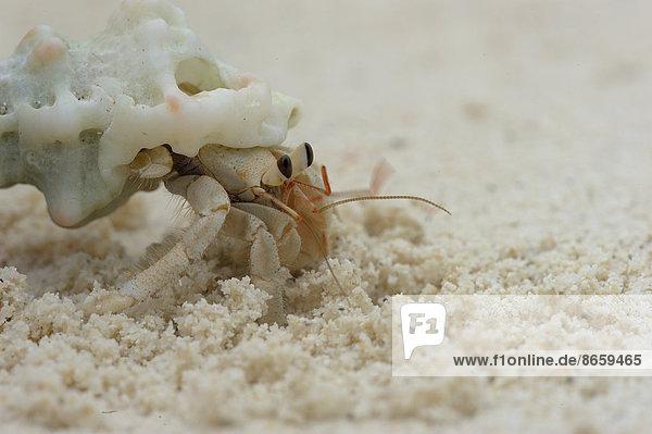 Einsiedlerkrebs (Paguroidea) am Strand  Insel Runi  Biak  West-Papua  Indonesien