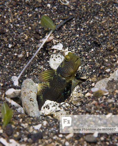Yellow Shrimp-goby or Yellow Prawn-goby (Cryptocentrus cinctus)  Philippines