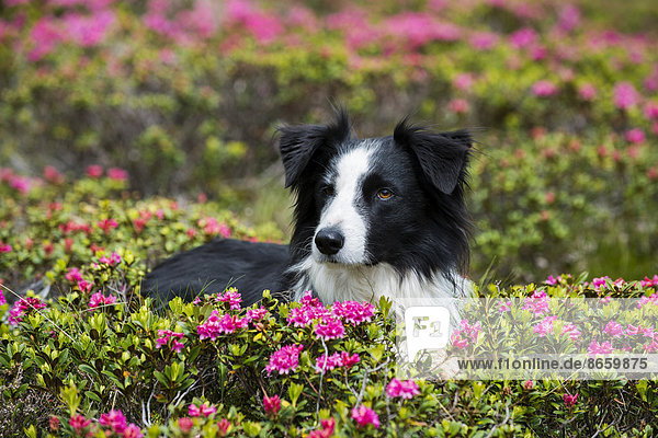 Black and white Border Collie sitting amid blooming rhododendrons  North Tyrol  Austria