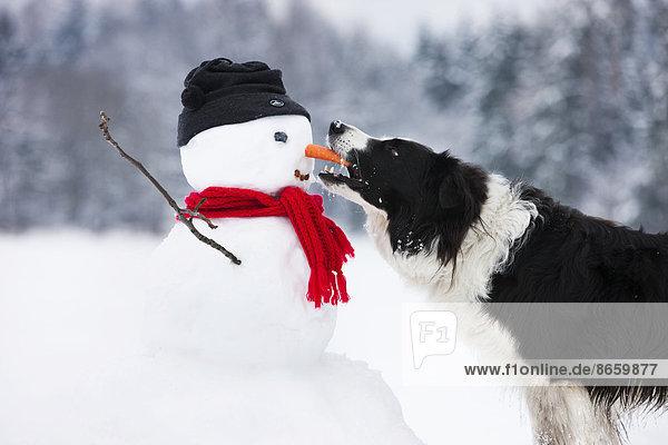 Border Collie  schwarz-weiß  beißt in Karottennase von Schneemann  Nordtirol  Österreich