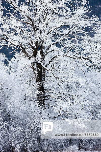 Oak tree covered with hoarfrost  North Tyrol  Austria