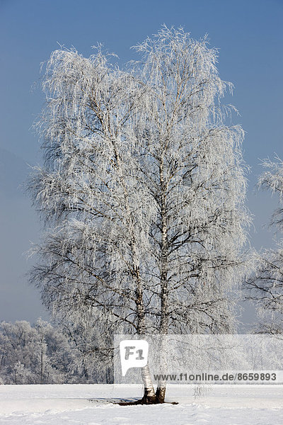 Birch tree covered with hoarfrost  North Tyrol  Austria