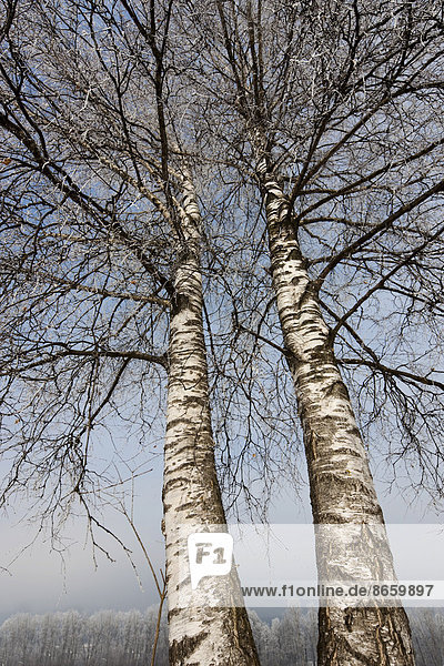 Birch trees covered with hoarfrost  North Tyrol  Austria