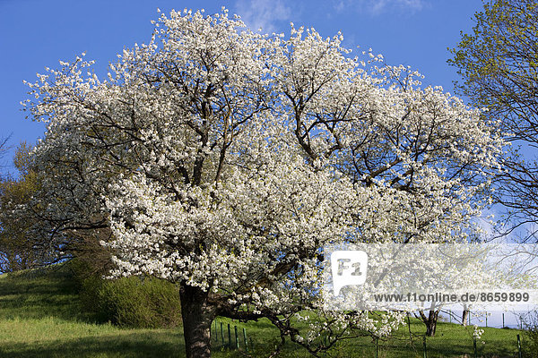 Blossoming cherry tree in spring  North Tyrol