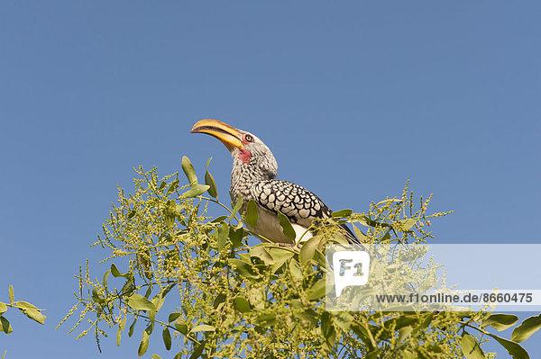Östlicher Gelbschnabeltoko (Tockus flavirostris)  Region Kunene  Namibia