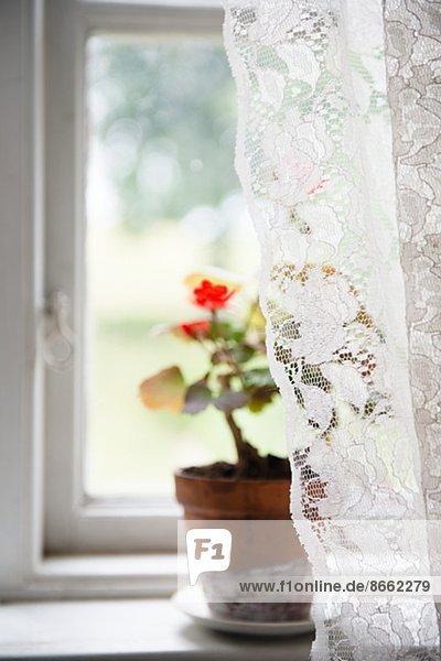 Blume Skane län Spitze Schweden Fensterbank