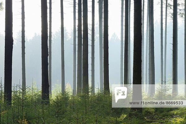 Europa Deutschland Hessen Fichtenwald Europa,Deutschland,Hessen,Fichtenwald