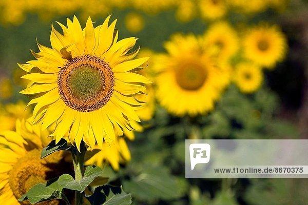 Sunflowers - La Bureba - Burgos - Castilla y Leon - Spain - Europe.