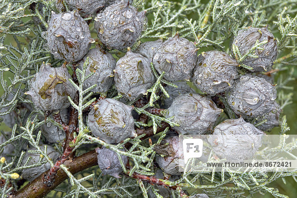 Cypress (Cypressus sp.) cones during rain  Canton of Tessin  Switzerland
