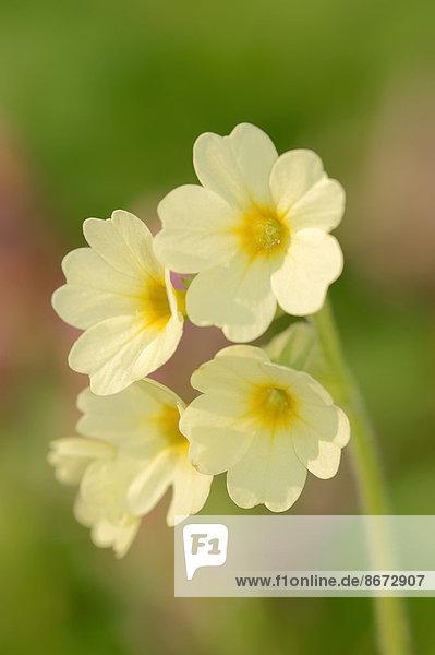 Hohe Schlüsselblume oder Waldschlüsselblume (Primula elatior)  Blüten  Nordrhein-Westfalen  Deutschland