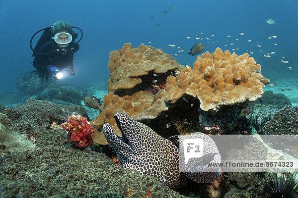 Taucher beobachtet zwei Große Netzmuränen (Gymnothorax favagineus  Gymnothorax permistus) die aus Korallenriff schauen  Daymaniyat Inseln Naturreservat  Provinz al-Batina  Sultanat von Oman