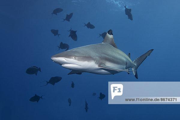 Schwarzspitzen-Riffhai (Carcharhinus melanopterus) und Rotzahn-Drückerfisch (Odonus niger)  Daymaniyat Inseln Naturreservat  Provinz al-Batina  Sultanat von Oman