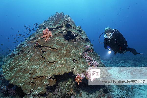 Taucher betrachtet auf Steinkoralle siedelnde Weichkorallen  Daymaniyat Inseln Naturreservat  Provinz al-Batina  Sultanat von Oman