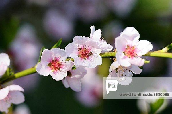 Kirsche  blühen  Pflaume