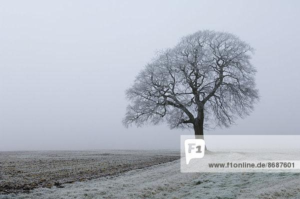 Frost auf dem Land und eine Buche im Winter.