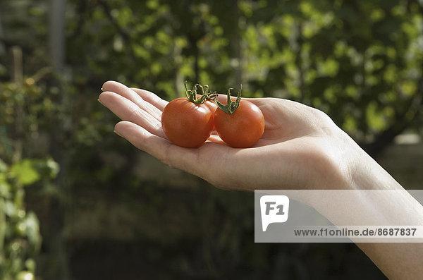 Die Hand einer Frau mit einer Gruppe frischer roter Tomaten.