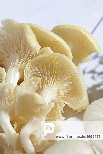 Goldene Austernpilze (Pleurotus citrinopileatus) auf Holztisch