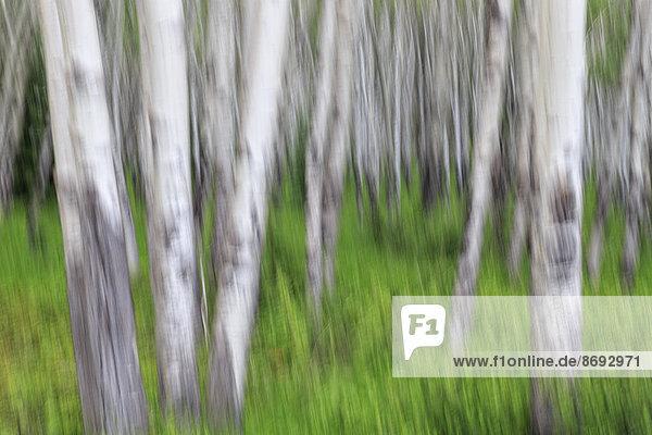 Kanada  Alberta  Rocky Mountains  Banff Nationalpark  Birkenstämme Kanada, Alberta, Rocky Mountains, Banff Nationalpark, Birkenstämme