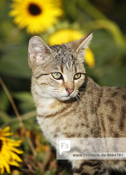 Porträt eines getigerten Kätzchens
