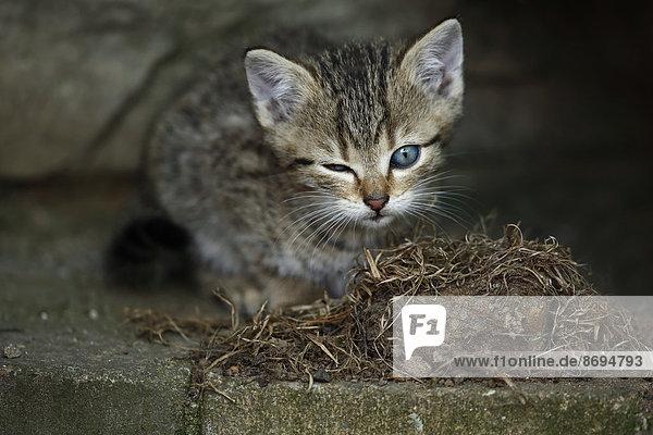 Tabby Kätzchen (felis silvestris catus) mit einem offenen und einem geschlossenen Auge