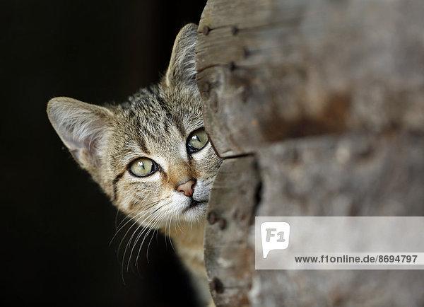 Porträt der spähenden Katze