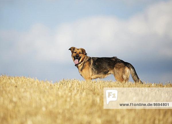 Deutscher Schäferhund Mischling auf einem Stoppelfeld vor dem Himmel stehend